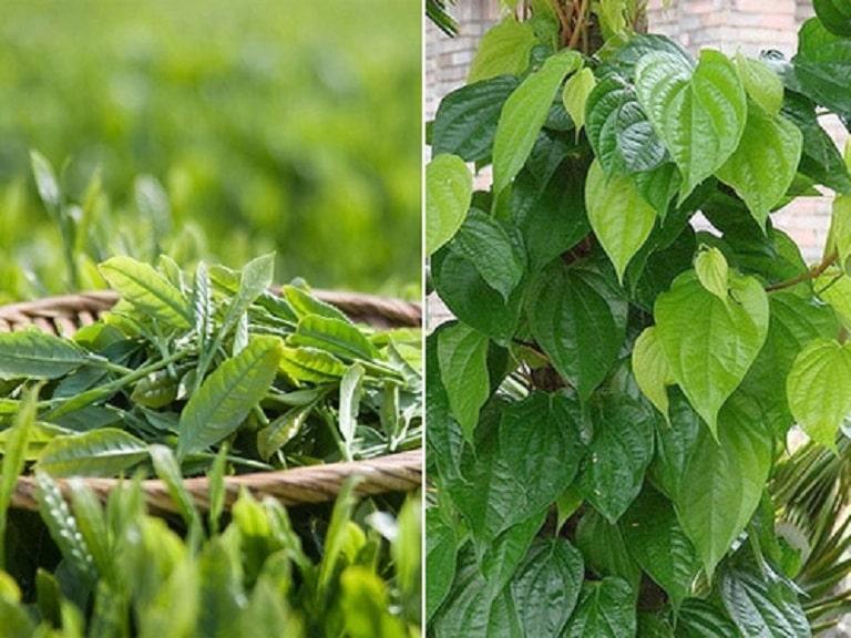 Trầu không và trà xanh là sự kết hợp hoàn hảo