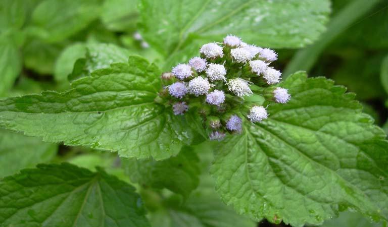 Cây hoa ngũ sắc là dược liệu quí điều trị nhiều bệnh lí