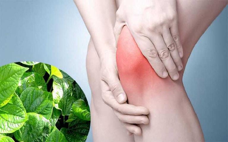 Tinh chất trong lá lốt giúp giảm đau khớp gối cho người bị thoái hóa