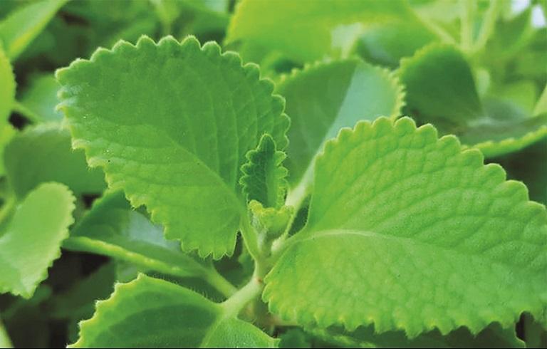Lá húng chanh là nguyên liệu tự nhiên giúp tình trạng viêm họng mãn tính thuyên giảm