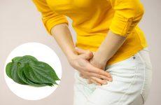 Tác dụng của lá trầu không giúp điều trị viêm lộ tuyến hiệu quả