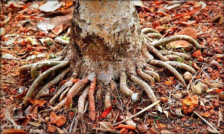 Rễ cau là thảo dược tự nhiên được ứng dụng trong tăng cường sinh lý nam tại nhà