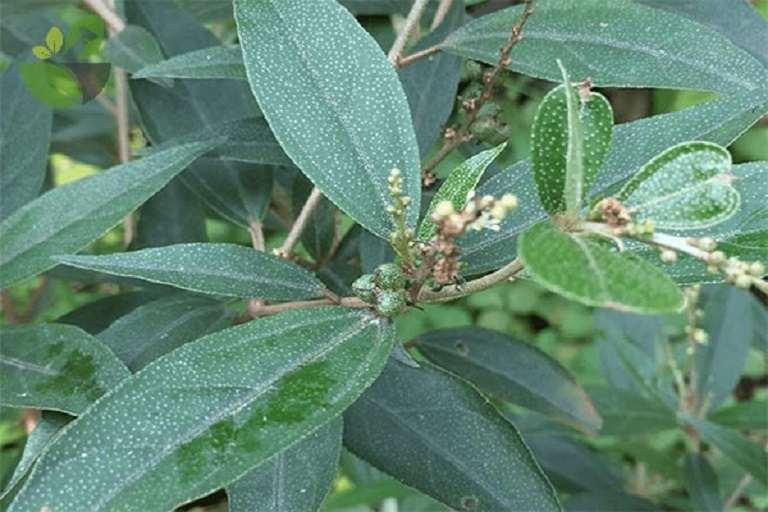 Đun sôi nước lá trầu không và cây khổ sâm rồi dùng để xông vùng kín cũng là mẹo rất hiệu quả