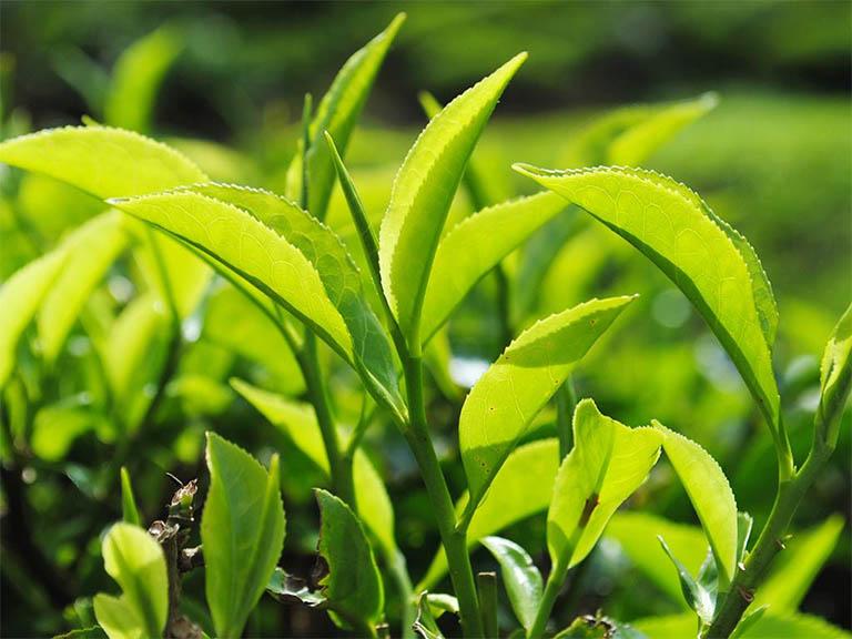Tắm lá trà xanh giúp giảm tình trạng nổi mẩn ngứa khắp người