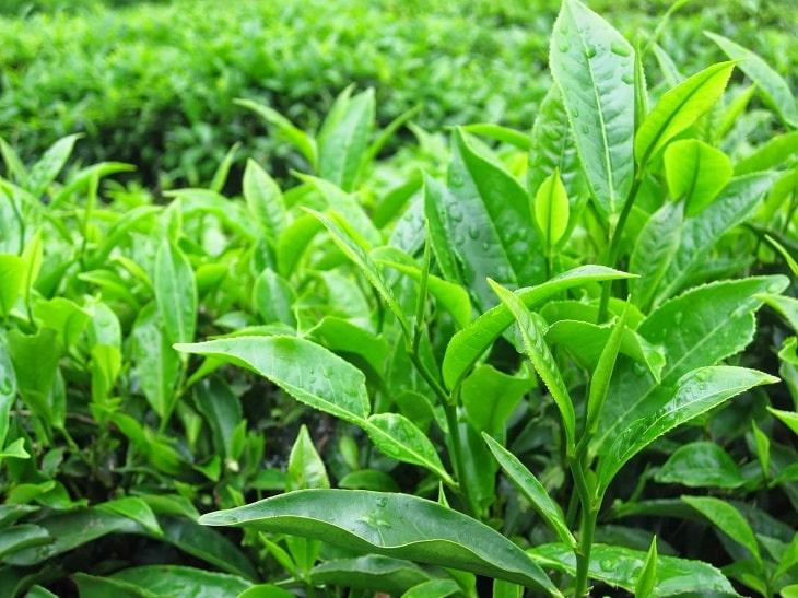 Lá trà xanh hỗ trợ điều trị viêm cổ tử cung rất hiệu quả