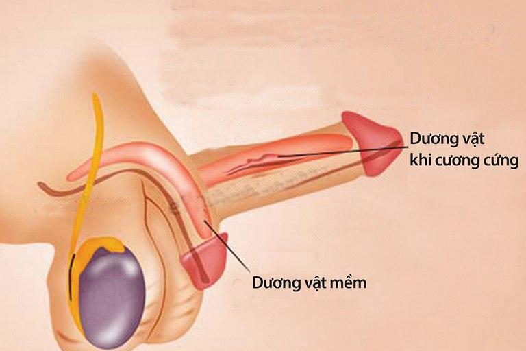 Ức chế PDE5 khiến thể hang giãn, hút máu về dương vật làm dương vật dương cứng
