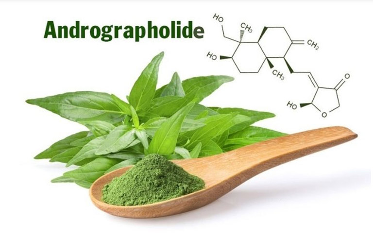 Thành phần Andrographolide trong xuyên tâm liên giúp hỗ trợ điều trị Covid-19